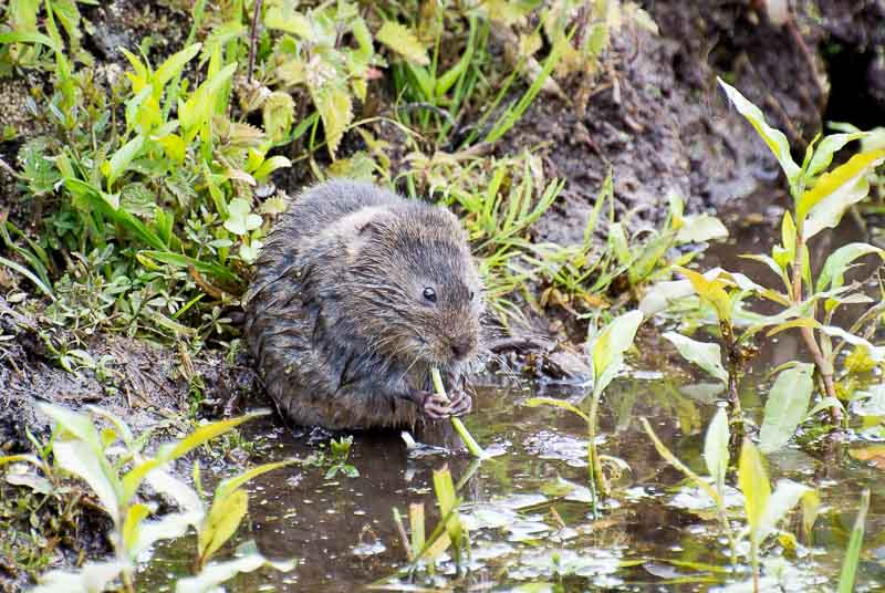 Water Vole having lunch