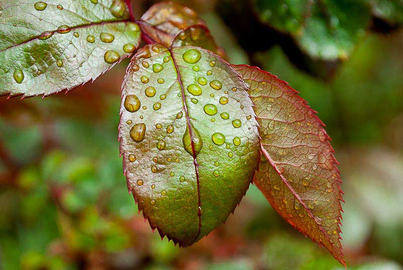 Rose leaf and water droplets