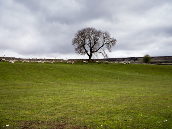 lone tree with line of sheep